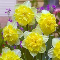 10 Narcissi Full House 12/14cm