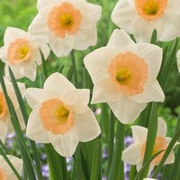 15 Narcissi Peaches and Cream
