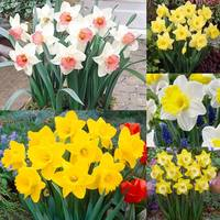 75 Daffodil Trumpet Collection 12/14cm