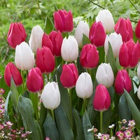 10 Tulip White Marvel