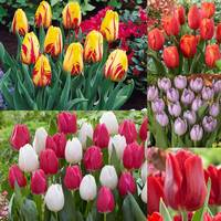 60 Tulip Single Early Collection