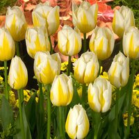 10 Tulip Flaming Coquette