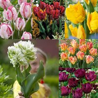 60 Tulip Parrot Collection