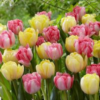 20 Tulip Foxtrot Collection