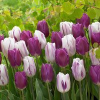 20 Tulip Flaming Flag/Purple Flag Collection