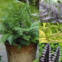 4 Fern Collection (Athyrium)