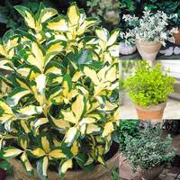 4 Euonymus Evergreen Collection
