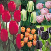 55 Tulip Award Winning Collection