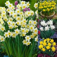 80 Narcissi Dwarf Early Bird Collection