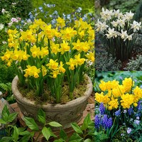 50 Narcissi Tete-a-Tete Collection