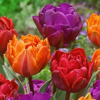30 Tulip Double Princess Collection