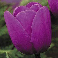 Tulip Blue Aimable