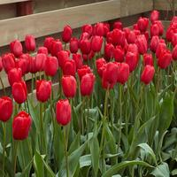 10 Tulip Sky High Scarlet