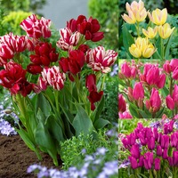 50 Tulip Multiflowered Collection