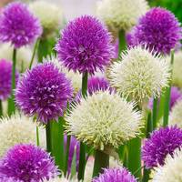 10 Allium New and Rare Collection