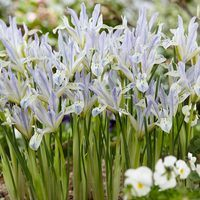 15 Iris reticulata Painted Lady