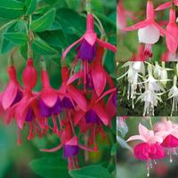 Fuchsia Hardy Collection