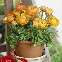 15 Ranunculus Tomer Deep Orange