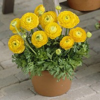 15 Ranunculus Tomer Deep Yellow