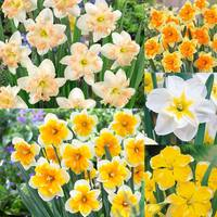 50 Narcissi Rare Orchid Collection