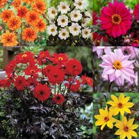 6 Dahlia Dark Leaf Bishop Collection