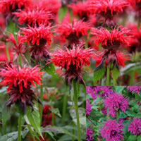 6 Monarda Fragrant Collection