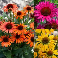 3 Echinacea Unusual Colour Collection