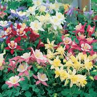 6 Aquilegia Star Constellation Mixed