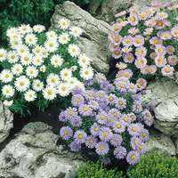 6 Aster Alpinus Collection