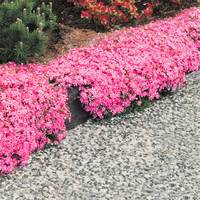 Phlox subulata McDaniels Cushion