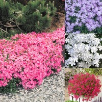 Phlox subulata Collection