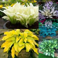 Hosta Designer Collection