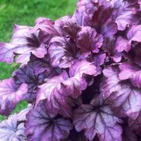 3 Heuchera Plum Royale