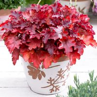 3 Heuchera Peach Flambe
