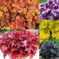 5 Heuchera Collection