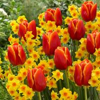 30 Perfect Tulip and Narcissi Partner Collection