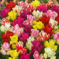 15 Tulip Compact Multi-flower Mixed