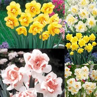 75 Daffodil Double Flowering Collection