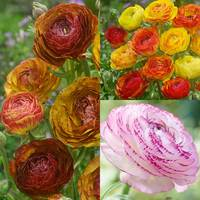 45 Ranunculus Picotee Collection
