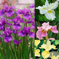 12 Iris siberica Collection