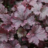 3 Heuchera Midnight Rose