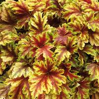 Heucherella Golden Zebra