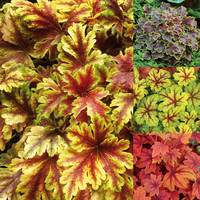 Heucherella Collection