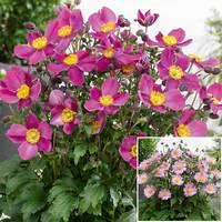 Anemone Dwarf Perennial Collection