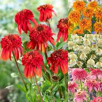 4 Echinacea Double Collection