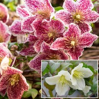2 Clematis Evergreen Winter Flowering Collection