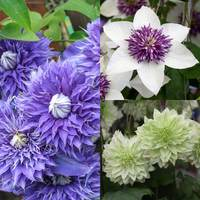 3 Clematis Double Flowered Collection