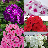 3 Phlox paniculata Mixed