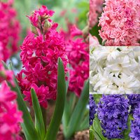 5 Hyacinth Double Mix 15/16cm