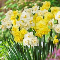 25 Daffodil Cheerfulness Mixed 12/14cm